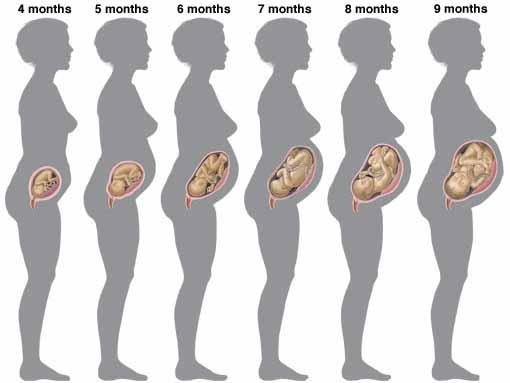 evolution-grossesse