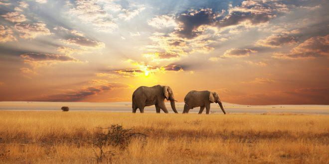 elephants-savane